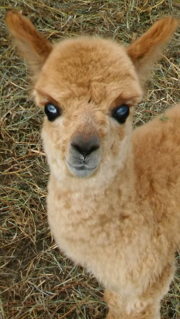 our cute alpaca named Squeakers