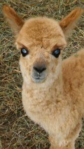 Squeakers - baby alpaca