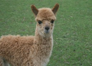 baby alpaca named Squeakers