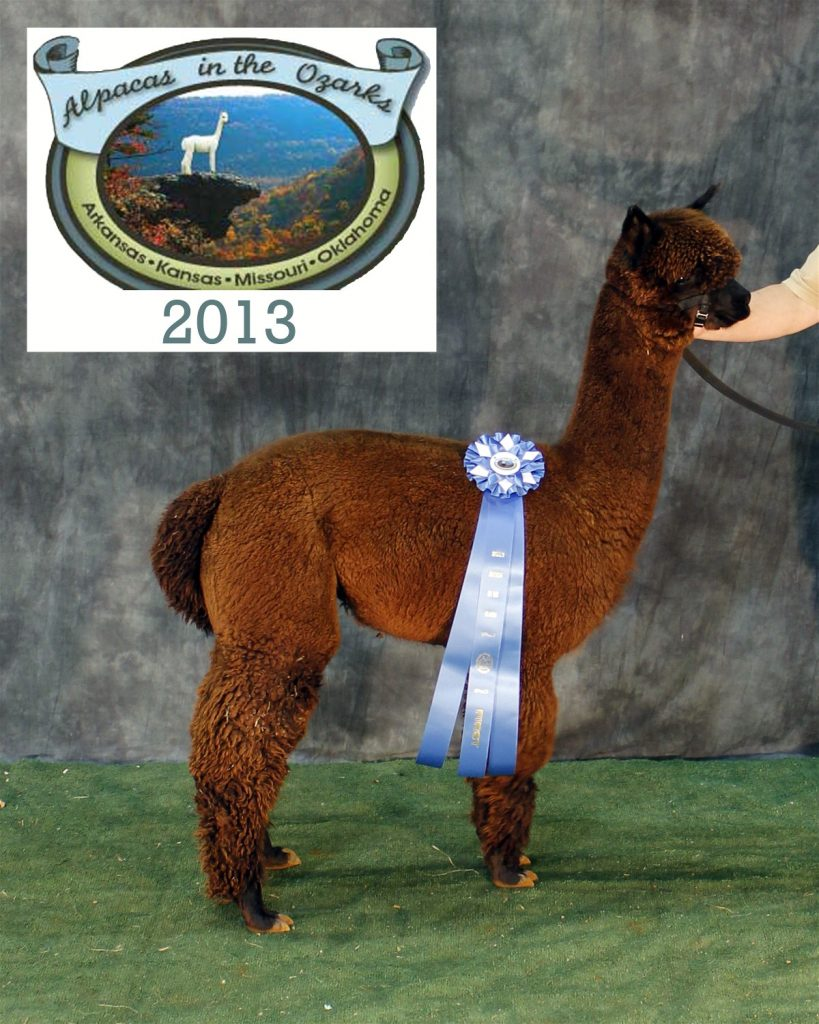 brown alpaca with blue ribbon