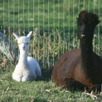 alpaca Macy with cria Cirrus
