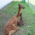 alpaca Carly with cria Desi