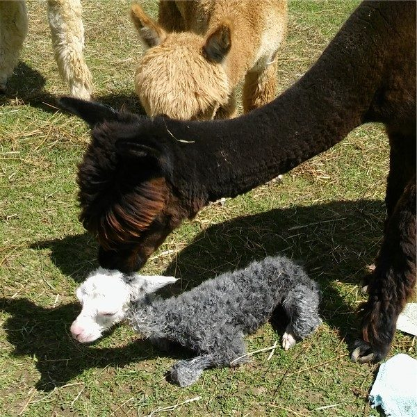 Peepers the alpaca just born