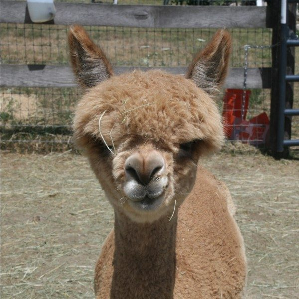 alpaca named Reba - head shot