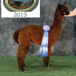 Shadow the alpaca with blue ribbon