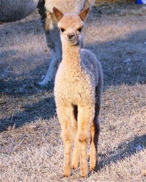 Cupcake the alpaca as a cria