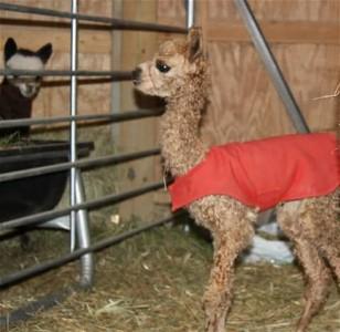 newborn cupcake the alpaca