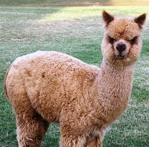 cupcake the alpaca as a yearling