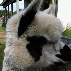 S2 – Sponsor An Alpaca