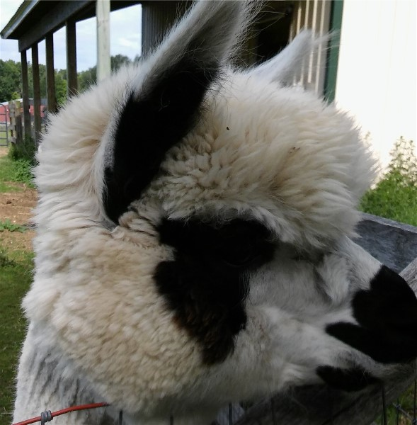 S2 the alpaca head shot