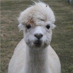 Mazzy Blu's Alpaca Yarn