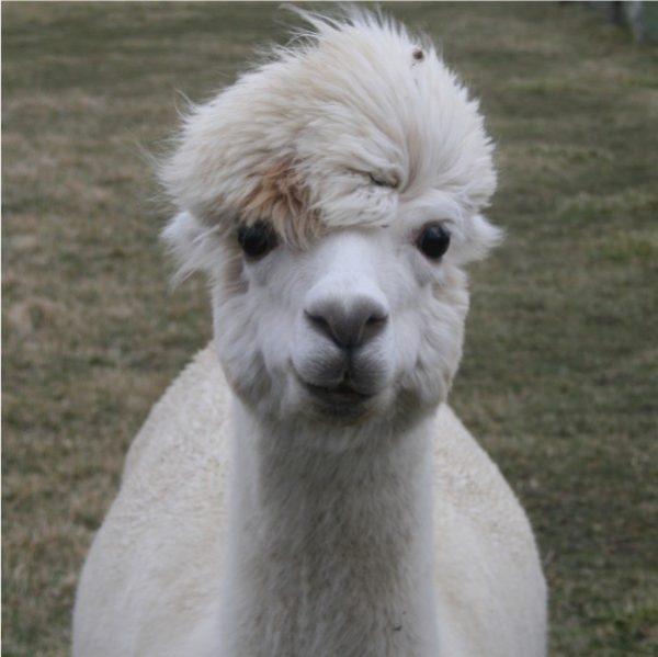 Mazzy Blu our alpaca