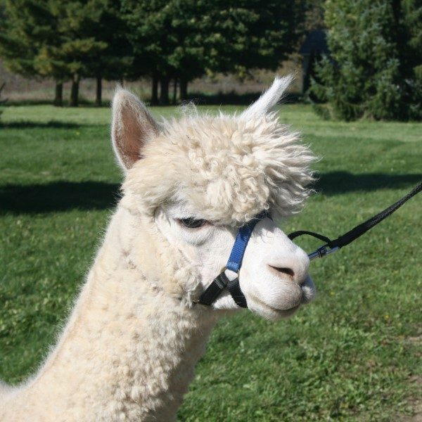 Placid the alpaca