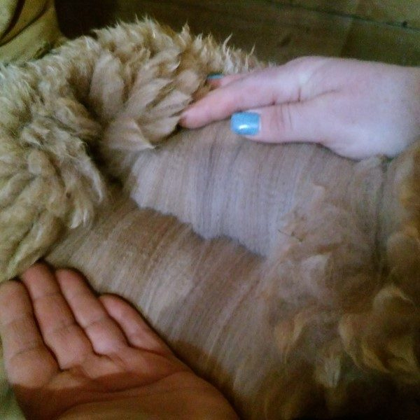 Carbon Copy alpaca fleece before processing