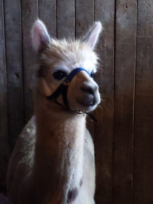 Peepers the alpaca1