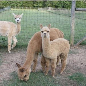 photo of alpacas that are available for sponsorship