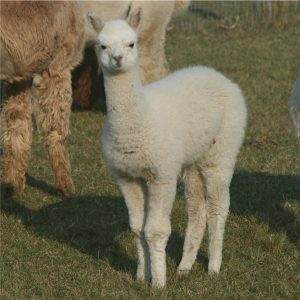 Cirrus White Alpaca Yarn
