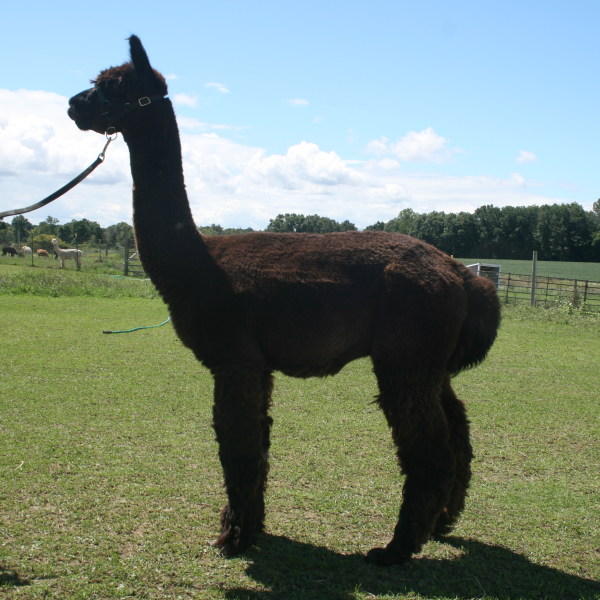 Legacy the alpaca