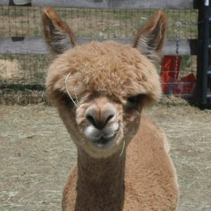 Reba the alpaca